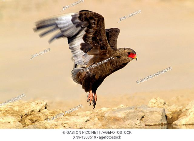 Bateleur (Terathopius ecaudatus), flying, Mabuasehube, Kgalagadi Transfrontier Park, Kalahari desert, Botswana