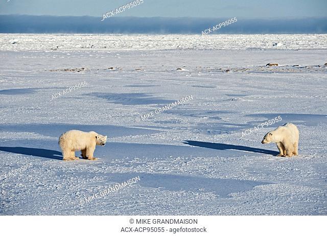 Polar bears Ursus maritimus on frozen tundra, Churchill, Manitoba, Canada
