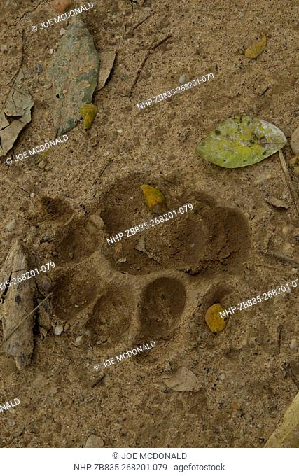 Jaguar, Panthera onca, tracks, Pantanal, Brazil, South America
