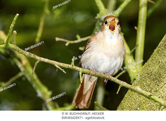 nightingale (Luscinia megarhynchos), singing nightingale, Germany