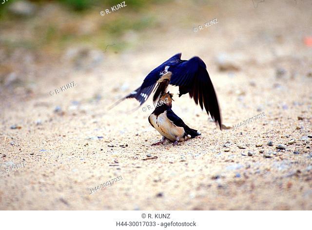 Barn Swallow, Hirundo rustica, Hirundinidae, Swallow, fledling juvenile, adult, feeding in flight, bird, animal, Holsteinische Schweiz, Germany