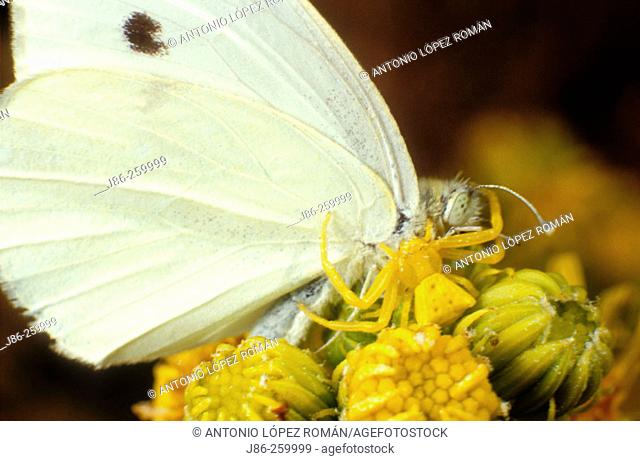Crab spider (Thomisus onustus) with its prey, a large white butterfly (Pieris brassicae)