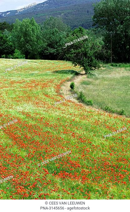 Field with poppies in France