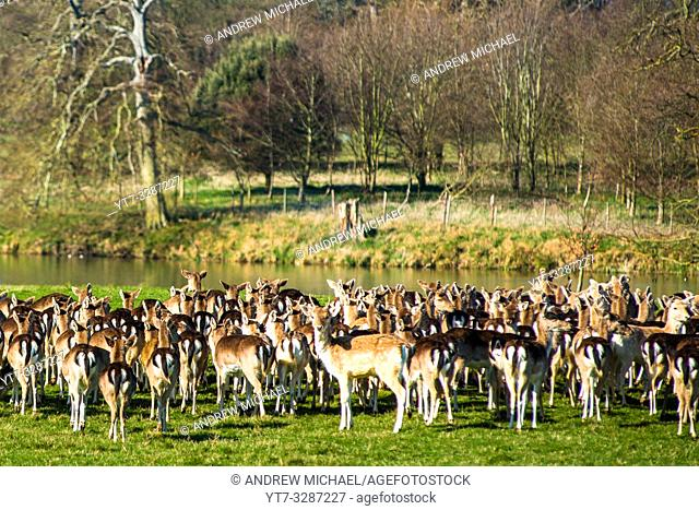 Herd of Fallow deer next to Holkham park lake, Holkham Hall, North Norfolk, East Anglia, England, UK