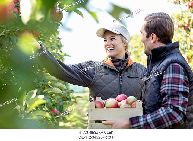 Smiling farmers harvesting apples in orchard