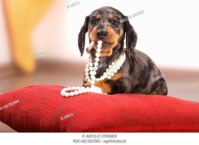 Smooth-haired Dachshund, puppy, dappled / pillow, cushion, pearl necklace