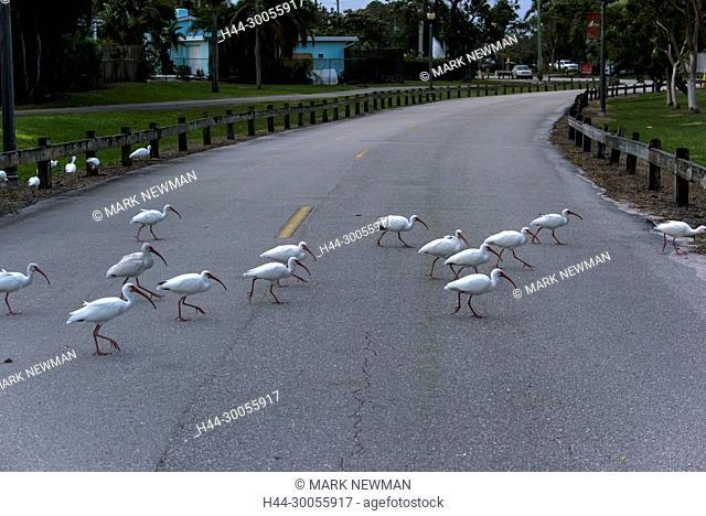 white ibis, eudocimus albus, florida