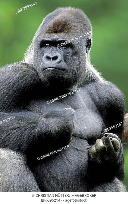 Western Lowland Gorilla (Gorilla gorilla gorilla), male, silverback, native to Africa, captive, Germany