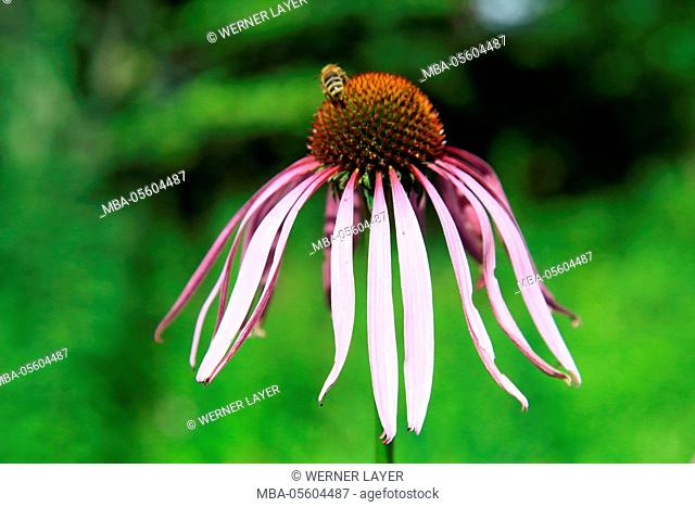 Purple coneflower, Echinacea purpurea