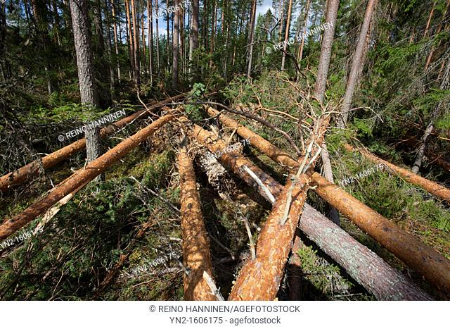 Storm damages in the forest , caused by strong winds , fallen pine trees , pinus sylvestris  Location Suonenjoki Finland Scandinavia Europe