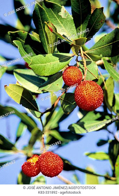 Arbutus berries