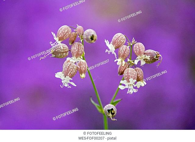 Germany, Bavaria, Bladder Campion, Silene vulgaris, close-up