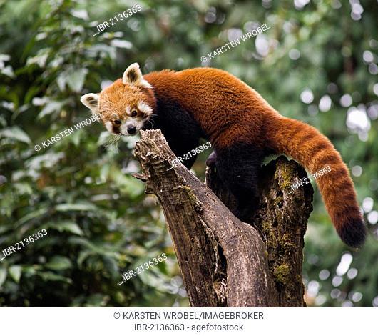 Red Panda (Ailurus fulgens) on a tree, Darjeeling, West Bengal, India, Asia