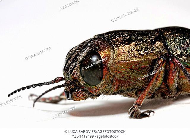 Anthaxia Quadripunctata Elateriformia -Gold beetle - Montecatini, Tuscany Italy