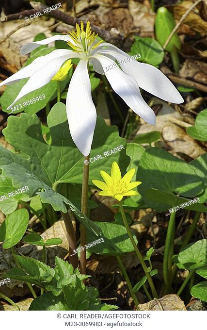A new growth of bloodroot, Sanguinaria canadensis, Pennsylvania, USA