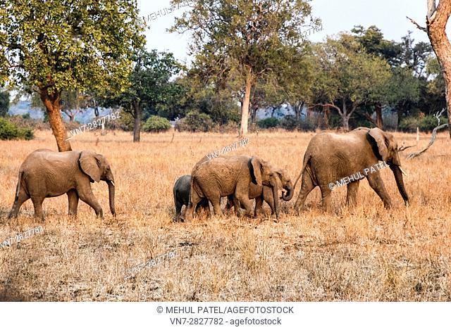 Baby elephants following elder elephant in Zambia, Africa