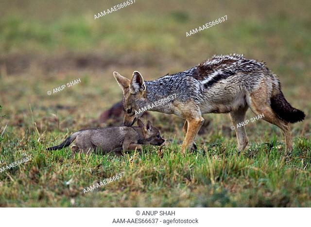Black-backed jackal female with two week old pup (Canis mesomelas). Maasai Mara National Reserve, Kenya. Aug 2011