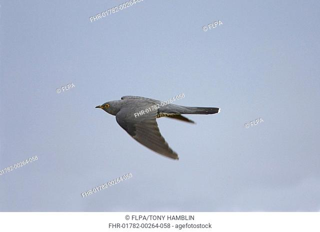 Common Cuckoo Cuculus canorus adult in flight, Isle of Mull, Scotland, may