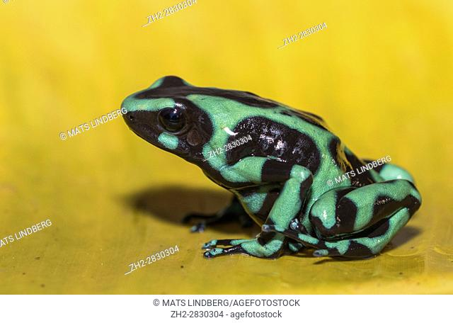 Green-and-black poison dart frog Dendrobates auratus, or green-and-black poison arrow frog sitting on a yellow banana leaf in rainforest at Laguna del Lagarto