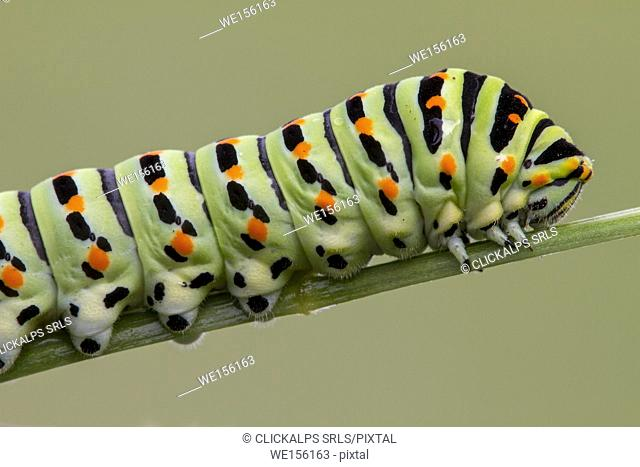Detail of Papilio Machaon caterpillar. Lombardy, Italy