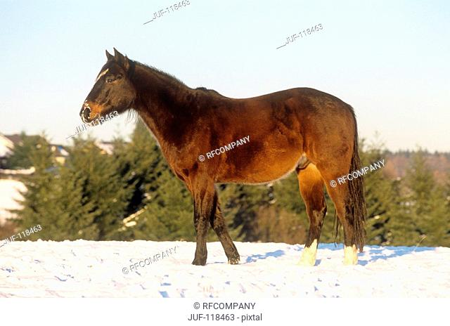 Polo Pony - standing in snow