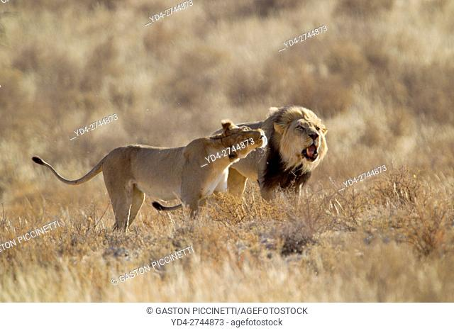 African lion (Panthera leo) -Male and Female, Kgalagadi Transfrontier Park, Kalahari desert, South Africa