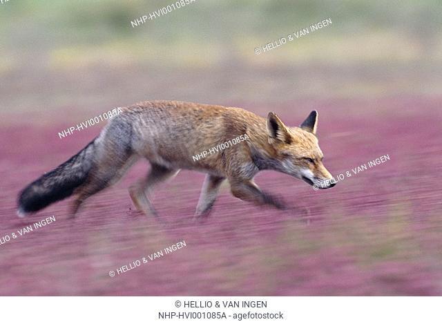EUROPEAN RED FOX Vulpes vulpes female, running  Camargue, Bouches-du-Rhone, France