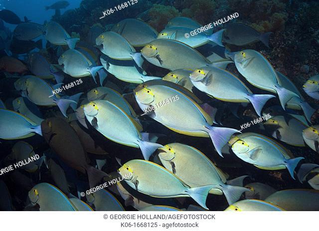 Elongate surgeonfish Acanthurus mata  Rinca, Komodo National Park, Indonesia