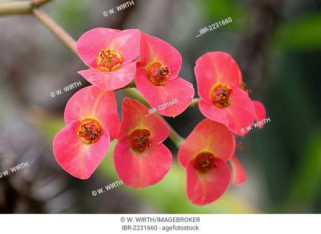 Crown-of-thorns or Christ Plant (Euphorbia milii), flowers, Botanical Garden, Bochum, North Rhine-Westphalia, Germany, Europe