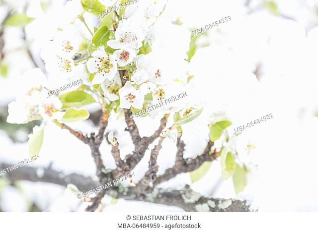 White cherry flower with snow