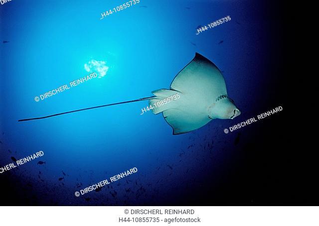 10855735, Maldives, Indian Ocean, Meemu Atoll, Eag
