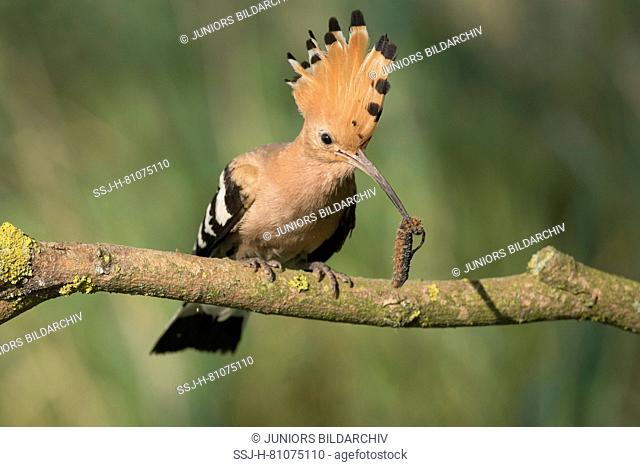 Hoopoe (Upupa epops) perched on a branch, with hairy caterpillar in its bill. Germany