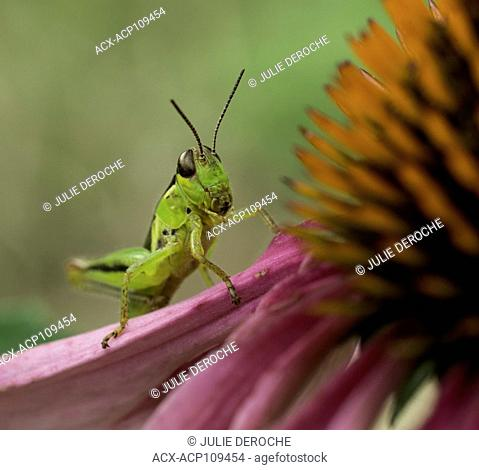 Grasshopper on a purple cone flower, North Bay region, Ontario, Canada