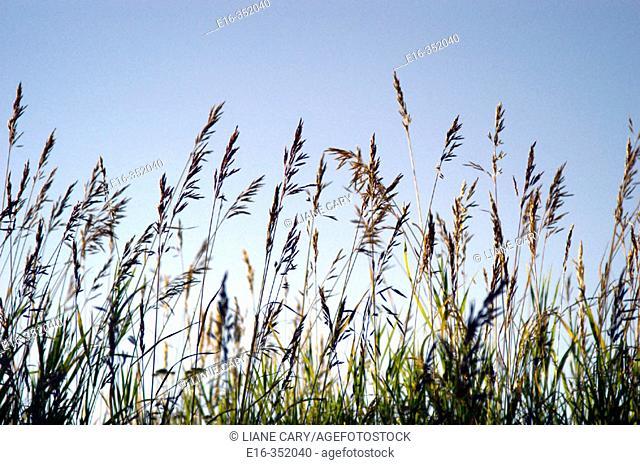 wild grass, alaska