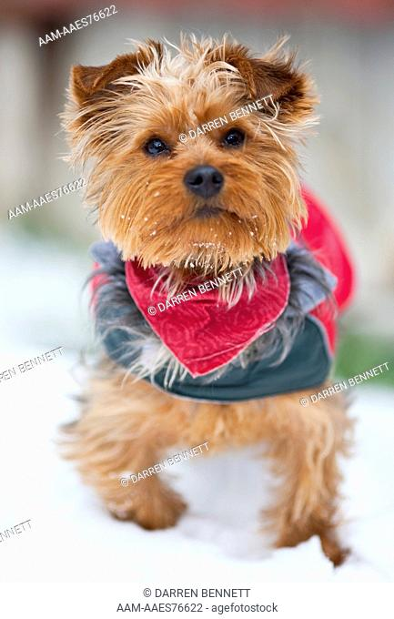 Domestic Dog, Yorkshire Terrier, Eastern Colorado Darren Bennett Photo