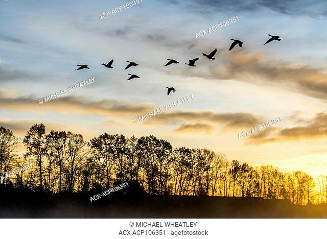 Geese at sunrise, Sunrise, Burnaby Lake Regional Park, , Burnaby, British Columbia, Canada
