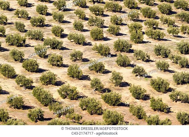 Cultivated olive trees (Olea europaea). Córdoba province, Andalusia, Spain