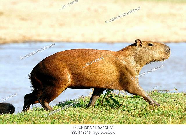 capybara - walking / Hydrochoerus hydrochaeris