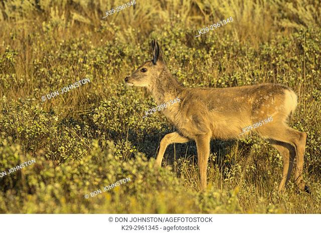 Mule deer (Odocoileus hemionus) fawn, Theodore Roosevelt NP (South Unit), North Dakota, USA