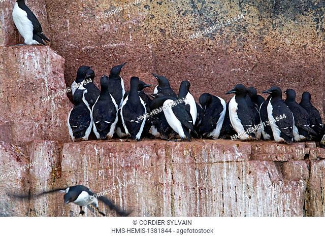 Norway, Svalbard, Spitsbergen, Hinlopenstretet, colony of Alkefjellet, Rocks, Bird colony, Thick-billed Murre or Brünnich's Guillemot (Uria lomvia) and...