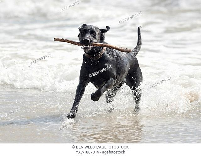 Female Labrador having fun at the beach. Tarifa, Costa de la Luz, Cadiz, Andalusia, Spain, Europe