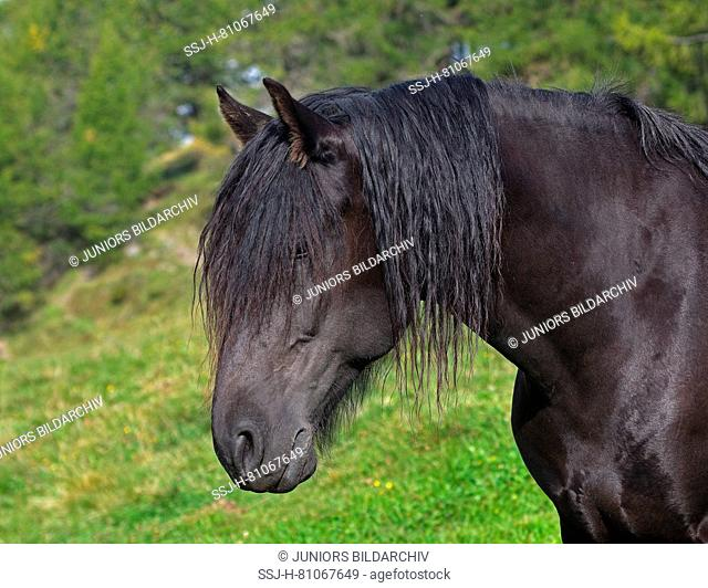 Merens Horse. Black adult standing on an alpine pasture, portrait. Italy