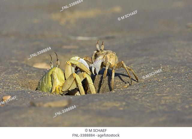 Two crabs on the beach, close-up
