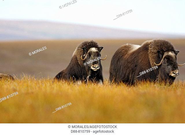 Muskox (Ovibos moschatus). Alaska, USA