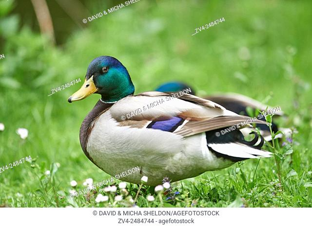 Close-up of a mallard or wild duck (Anas platyrhynchos) male on a meadow in spring