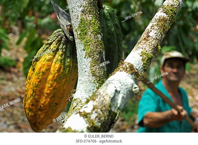 Cocoa harvest: worker with cocoa knife S. Bahia, Brazil
