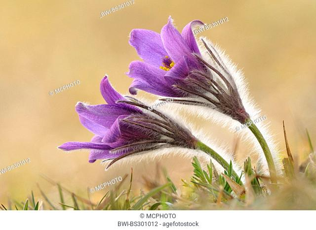 pasque flower (Pulsatilla vulgaris), flowers, Germany