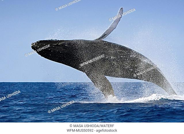 Humpback Whale breaching, Megaptera novaeangliae, Pacific Ocean, Hawaii, USA