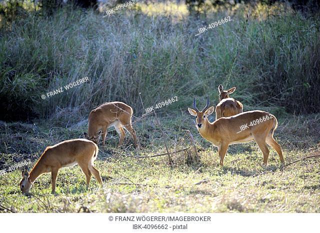 Pukus (Kobus vardonii), group, browsing, South Luangwa National Park, Zambia