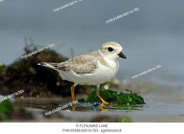 Piping Plover Charadrius melodus immature, walking on beach, New York, U S A , august